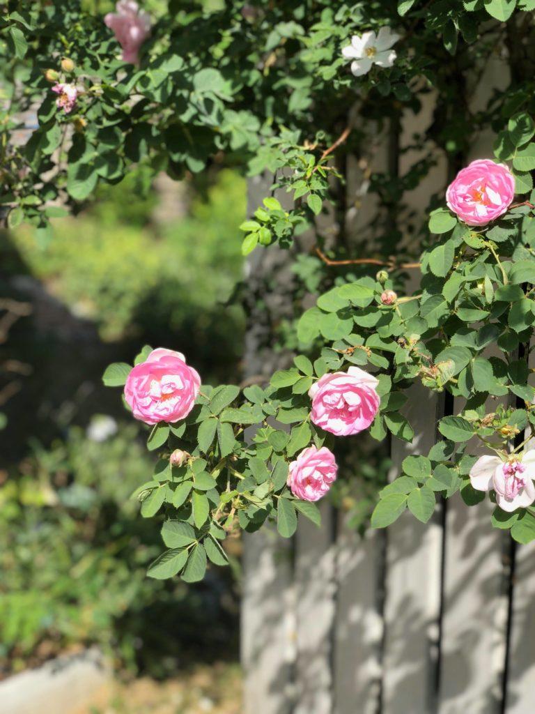 Rosor i trädgården