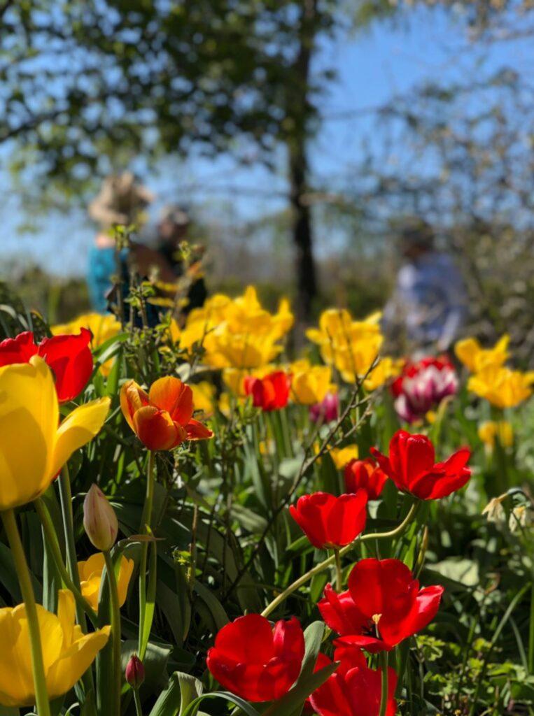 tulpaner i maj